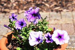 DSC_9951 Petunia (PeaTJay) Tags: nikond750 sigma reading lowerearley berkshire macro micro closeups gardens indoors nature flora fauna plants flowers petunia