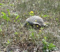 Spur Heeled Tortoise, Dion .JPG (tobeytravels) Tags: alexanderthegreat alexander3rd macedon macedonia thucydides brasidas orpheus hellenistic cranicos leake