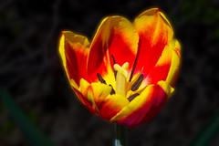 Sunburst Tulip (kensparksphoto) Tags: sunburst tulip flower macro canonfd50mmf35macro vintage lens manualfocus