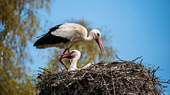 Störche (Rolf Piepenbring) Tags: ciconiaciconia whitestork weisstorch stork storks storch störche klapperstorch niederlande netherlands nederland nl safariparkbeeksebergen