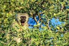 Vervet Monkey (B1 Photo Safaris in Kruger National Park) Tags: privat kruger safaris national park b1 africa vervet monkey making warning call tree