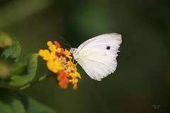 (Carlos Santos - Alapraia) Tags: borboleta ngc ourplanet animalplanet canon nature natureza wonderfulworld highqualityanimals unlimitedphotos fantasticnature butterfly