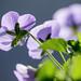 Viola tricolor (Johnny Jump Ups)