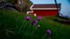 Lovely summerday (evakongshavn) Tags: flower flowers wildflowers purple red green summertime summerfeeling summervibes northsea