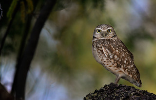 Burrowing owl. Incredible to see how small these critters are.
