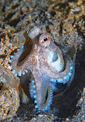 Coconut Octopus (oceanzam) Tags: scuba diving water beach sand travel nature underwater ocean sea shore philippines octopus coral reef muck night dark color colorful shadow eyes