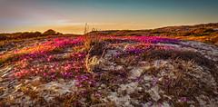 Dunes with Flowers (Thanks for 1.3 million views) Tags: kando asilomar dune seascape flower sunset