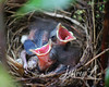 Cardinal Nest (J_Dubb94) Tags: cardinal birds wildlife nest babies outdoors