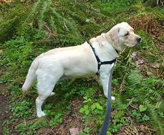 Gracie standing among ferns (walneylad) Tags: gracie dog canine pet puppy cute lab labrador labradorretriever april spring morning westlynn