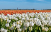 Field of Tulips (Roberto Braam) Tags: tulp hornhuizen groningen field veld bulb nature dutch flower bloom netherlands bloem landscape landschap lente spring demarne season springtime tulpe tulipe tulipa tulpenveld tulpenfeld feld bollen tulpenbollen colorful colors color lens flora kleurrijk holland europe tulips tulpen flowers bollenveld voorjaar bloembollen bulbfield steel straw sky clouds lucht wolken natuur depth tulipo tulipan flowerbulbs outdoor blume blossom beauty beautiful felder farben bollenstreek plant european niederlande tulipes tulipany bright flowerbed nikon d300s
