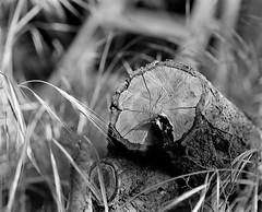 Stump (Tpstearns) Tags: film monochrome bw blackandwhite trix pentax67 120 mediumformat 6x7