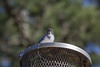 IMG_5949 (armadil) Tags: backyard lifeathome bird birds jay jays scrubjay