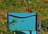 Cardinal on a Blue Lawn Chair (austexican718) Tags: texas native fauna centraltexas hillcountry wildlife bird backyard nature cardinal canon eos70d ef70300mm456isusm telephoto