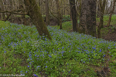 Virginia Blue Bells field. (Ulrich Burkhalter) Tags: 20180415 bluebells kentucky scottcounty springinkentucky virginiabluebells springflowers imgp555022pedited1