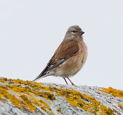 Linnet at Cliffe