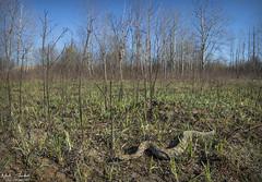 Eastern Massasaauga Rattlesnake (Nick Scobel) Tags: eastern massasauga rattlesnake sistrurus catenatus rattler michigan venomous snake rattle viper pit fangs camouflage texture pattern
