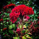 Stratford Ontario ~ Canada ~  Flower ~ Shakespearean  Garden Botanical  ~ Heritage thumbnail