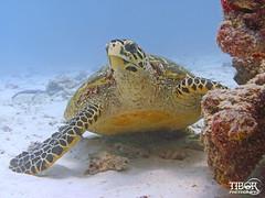 Hawksbill Turtle (morbidtibor) Tags: africa seychelles praslin diving ocean indianocean turtle hawksbillturtle hawksbill redpoint