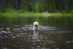 Come on in, the water's fine (RobertCross1 (off and on)) Tags: a7rii alpha bailey breckenridge co colorado emount fe85mmf18 frisco goldenretriever ilce7rm2 lilypadlake mountainwest rockies rockymountains silverthorne sony summit alpine dog forest fullframe golden lake landscape mansbestfriend mirrorless pet portrait swimming trees water