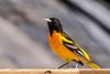 Welcome To My Orange (jah32) Tags: birds bird birdwatcher orange cmwdorange spring springtime icterusgalbula song songbird