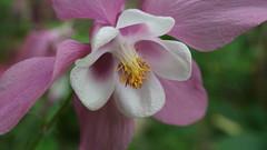 Mes ancolies... (passionpapillon) Tags: macro fleur flower ancolie jardin rose pink passionpapillon 2018
