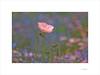Flores de papel (E. Pardo) Tags: flores flowers blumen colores colors farben primavera frühling spring luz licht light belleza beauty schönheit stiftadmont abadíaadmont admontabbey admont steiermark austria