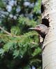 Learning Patience -- Northern Flicker Juvenile Male (Colaptes chrysoides); Santa Fe National Forest, NM, Thompson Ridge [Lou Feltz] (deserttoad) Tags: nature newmexico bird wildbird songbird woodpecker behavior aspen tree flicker mountain chicks nest