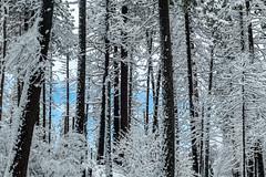 _D852058 (captured by bond) Tags: yosemitenationalpark winter winterscape capturedbybond california stevebond stevebondphotography nationalpark trees