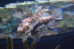 Pterois / Lion Fish (Adventurer Dustin Holmes) Tags: 2018 wondersofwildlife pterois lionfish fish saltwater aquarium aquatic animal animalia chordata