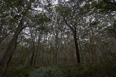 Where The Wild Things Are (Stueyman) Tags: sony alpha ilce za zeiss wa westernaustralia australia au forest woods trees fern green boranup margaretriver sel1635z