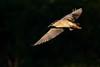 Black-crowned Night Heron @ Lakeside Park (gilamonster8) Tags: blackcrownednightheron lakesidepark canon ngc tucson 5dmarkiv flight heron fly golden naturetop sky arizona eos ef400mmf56lusm bird animal