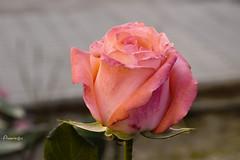 My Thursday  rose (Anavicor) Tags: flor planta rosa thursdayflower juevesdeflores quintaflower giovedi fiori fleur rose anavillar anavicor villarana nikon tamron d5300