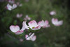 DSC08181 (Old Lenses New Camera) Tags: sony a7r wollensak raptar 38mm f19 plants garden tree flowers branches dogwood