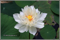 7880 - white lotus (chandrasekaran a 50 lakhs views Thanks to all.) Tags: whitelotus lotus flowers nature india chennai canoneos80d tamronef28300mm theosophicalsociety adyar
