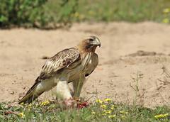 Águia-calçada / Booted eagle (Aquila pennata) (Marina CRibeiro) Tags: