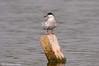 Sterna comune _004 (Rolando CRINITI) Tags: sterna sternacomune uccelli uccello birds ornitologia periprava tulcea deltadeldanubio ultimafrontiera romania natura