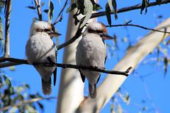 Kookaburras (destinationsjourney) Tags: australia newsouthwales kookaburra kookaburras gumtree washpools towarrinationalpark bird nationalpark bushwalk australianbird nature tree
