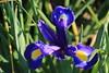 Iris (x70tjw) Tags: flowers flower bloom blooms garden iris