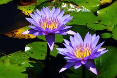 jdbotplantarum_0112 (Copy)b (João Batista**) Tags: flor flower natureza nature jardim garden
