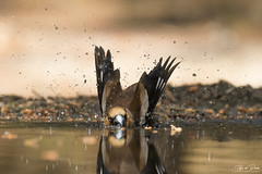 Bathtime (Thijs de Bruin) Tags: appelvink hawfinch fringuellodimele bath water