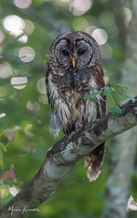 Barred Owl greeted us on our way home today.... (photosbymk) Tags: barredowl barred owl