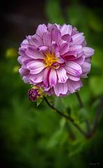Yellow Centre (Jocey K) Tags: dahlia newzealand nikond750 christchurch flower