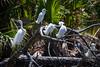 The Rookery .... (crziebird) Tags: rookery egrets birds nest