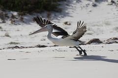 Australian Pelican (Baractus) Tags: australian pelican john oates freycinet national park tasmania australia inala nature tours saffire