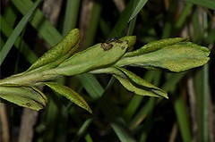 Endophyllum euphorbiae-silvaticae, NGID1943834130 (naturgucker.de) Tags: ngid1943834130 naturguckerde endophyllumeuphorbiaesylvaticae 649561984 2128523129 828140399 chorstschlüter
