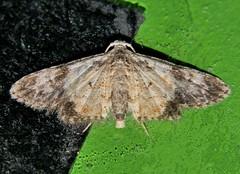 P1250464 (Steve & Alison1) Tags: 10mm wingspan 4mm long body