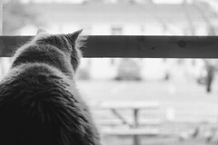 Bird Watcher (flashfix) Tags: april282018 2018inphotos ottawa ontario canada nikond7100 28mm nikon flashfix flashfixphotography portrait cat feline whiskers ears kittynose fyero nebelung ragamuffin ragdoll fluffy graycat window naturallight soft monochrome blackandwhite