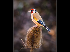 Goldfinch (Paul West ( pwest.me )) Tags: goldfinch finch nature bird gardennature naturelovers wildlife wildlifepics macro wildlifepictures wildlifephotographer wildlifephotography naturephotography naturepictures naturephotographer birdphotography wildlifephoto animal naturephotoportal poultonphotosoc photography wildlifeplanet intothewild wildlifeperfection naturephoto naturepics naturepic followme naturecollection natureseekers