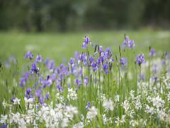 P5070004 (turbok) Tags: blauviolett pflanze sibirischeschwertlilieirissibirica wildblumen wildpflanzen c kurt krimberger