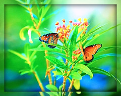 Butterflies and Blooms (FernShade) Tags: butterflies butterfliesandflowers butterfliesonfloweringbrancn insects lepidoptera nature ngc